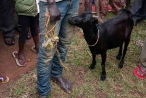 man-sex-a-goat-ondo-bestiality-gidibase